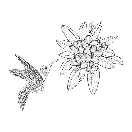 frangipani flower: Hummingbird and Bouquet with Plumeria or Frangipani flower on white background.