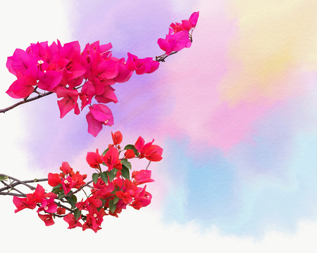 Abstract background with ornamental climbing plant bougainvillea blossom on the Watercolor background