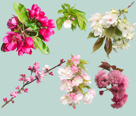 spring flowers isolated on light background. Flowers of blooming garden blossoms of collection cherry and apple tree twig. Stock fotó