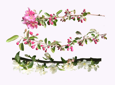 Blossoming fruit branch isolated on light background. Photo of blossoming tree brunch with white and pink flowers Beautiful Cherry. Stock fotó