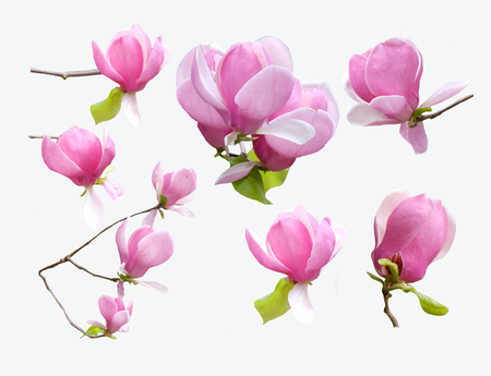 Blossoming magnolia collection isolated on white background. Close-up of blossoming tree brunch with pink flowers Beautiful magnolia tree.