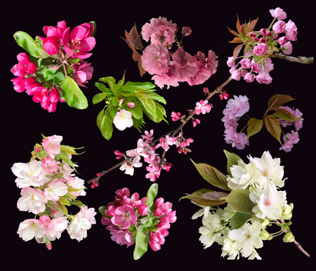 spring flowers blossom tree isolated on black background. Flowers of blooming garden blossoms of collection cherry and apple tree twig.