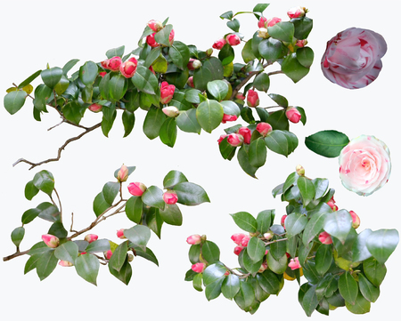 Beautifull camellia flowers and branch set in white background blossoms of collection. Stock fotó