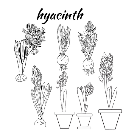 Vector pattern of hand drawn drawing illustration of hyacinth growth tree stage life. sketch design element for invitation card on white background.