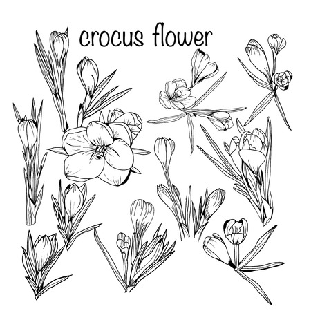 Vector hand-drawn set of crocus spring flowers black and white sketch style.