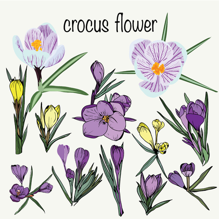 hand-drawn set of crocus spring flowers collection violet and yellow sketch style.