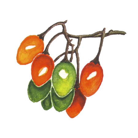 Colorful nightshade berries bunch watercolor illustration. Hand drawn red, green and orange berry on branch isolated on white background