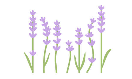 Lavender flowers with leaves isolated on white background. Flat design for poster or t-shirt. Vector illustration