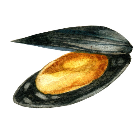 Watercolor illustration of seafood. Mussel. Watercolor hand drawn fresh mussel.