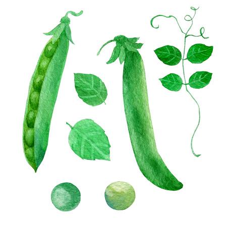 Watercolor illustration, green peas. Pod leaves pea
