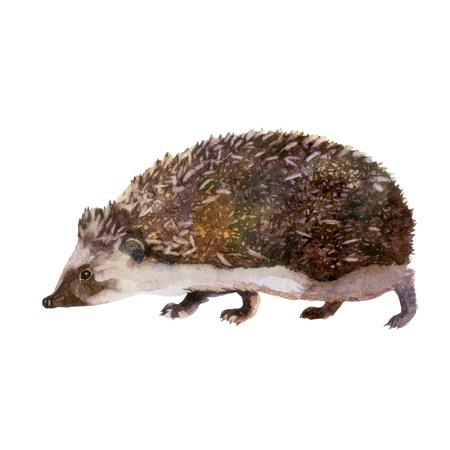 Hedgehog. Forest animal watercolor illustration
