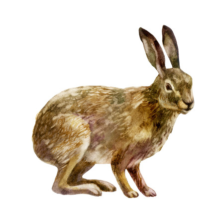 Watercolor single hare animal isolated on a white background illustration. Stock Photo