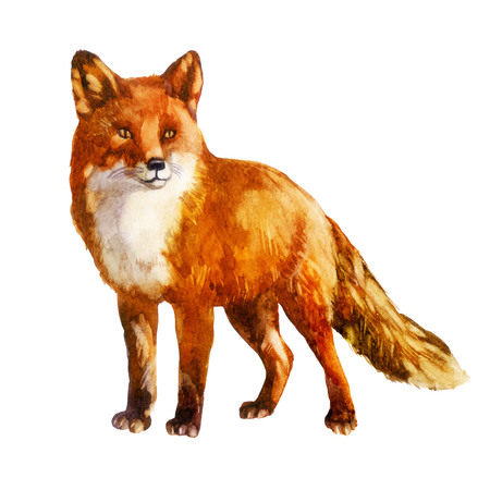 Fox. Watercolor illustration on white isolated background
