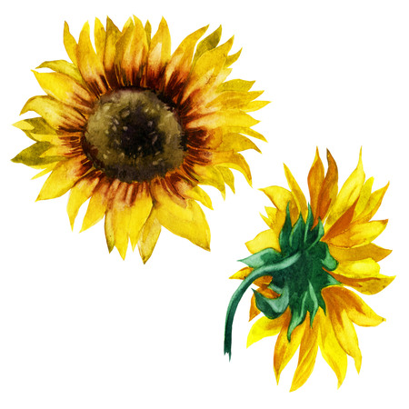 Watercolor illustration. Sunflowers. Front and back view