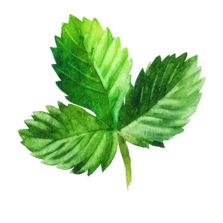 Watercolor illustration. Strawberry leaf