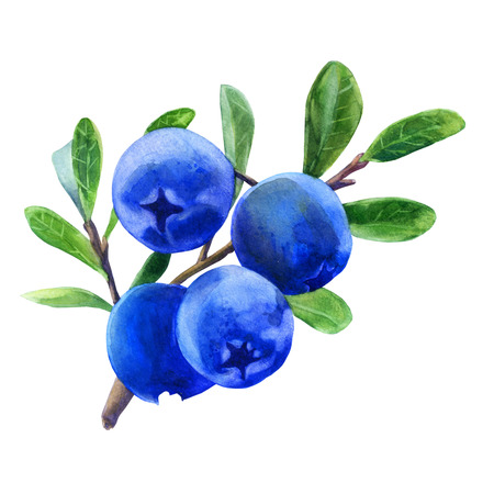 Watercolor illustration. Blueberries on a branch with leaves. Stock Photo