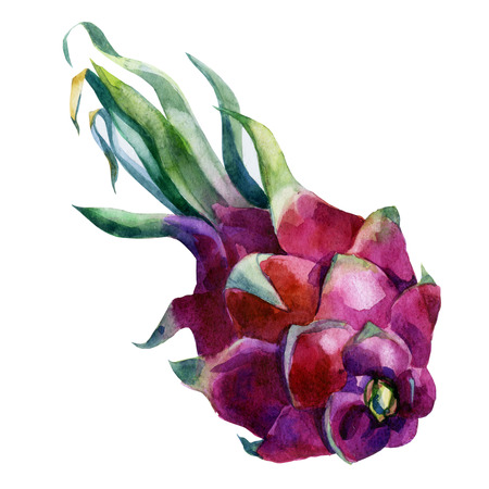 Watercolor illustration. Pitaya. The fruit of the prickly pear.