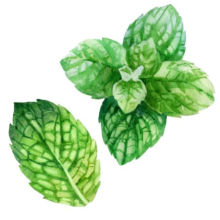 Watercolor illustration, set. An image of mint. Mint leaves.