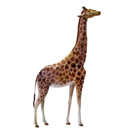 Watercolor illustration giraffe standing on the side.