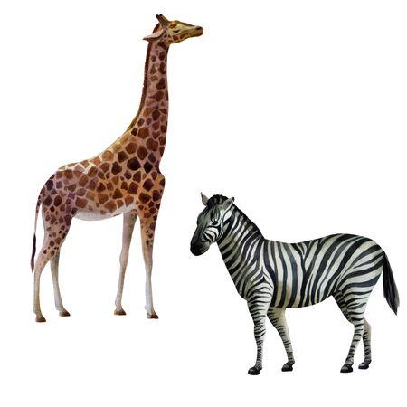 Watercolor illustration set. Giraffe and zebra standing on the side.