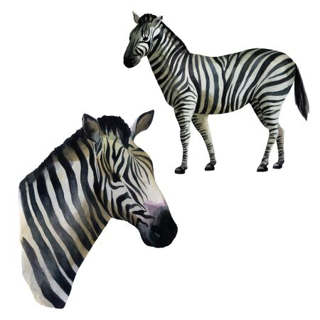 Watercolor illustration set. Zebra standing on the side, portrait of a zebra.