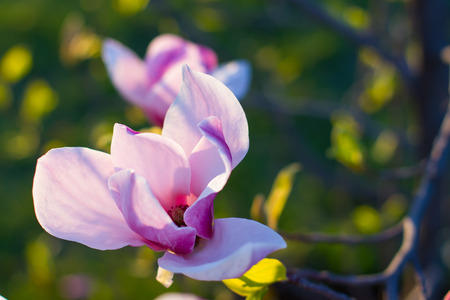 magnolia flower: Gentle magnolia flower close-up. Beautiful spring flower. Stock Photo