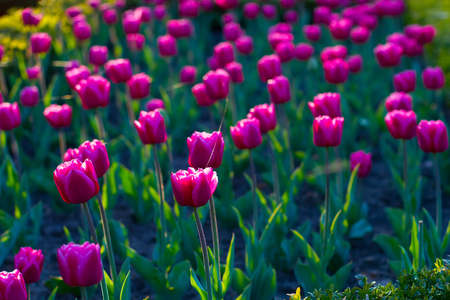 Wonderful tulips at sunset. Summer flower bed with tulips.