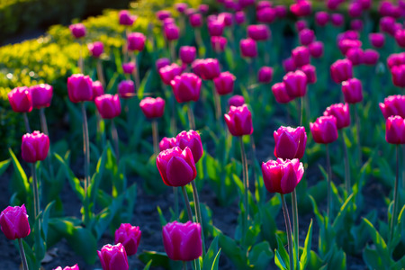 Wonderful tulips. Flowers in a beautiful light. Stock Photo