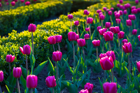 Flower bed with tulips. Purple tulip in the evening light.