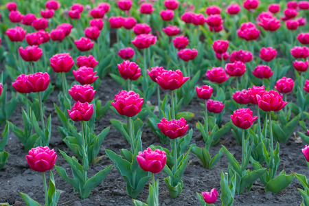 Flowerbed with bright pink tulips.