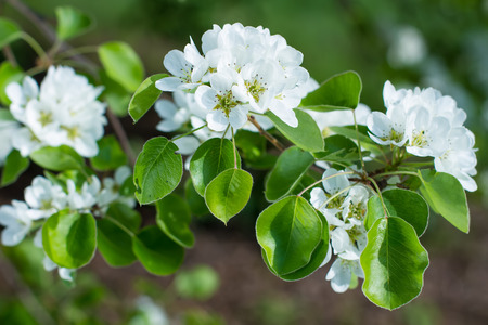 tenderly: Tenderly white flowering pear tree in spring. Stock Photo