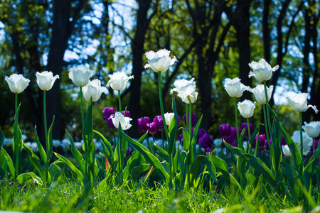 Colorful spring lawn with mauve and white tulips in garden. Stock Photo
