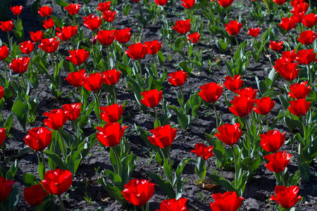 Bright blooming red tulips growing on the flowerbed. Stock Photo