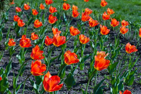 Bright blooming orange tulips growing in spring garden. Stock Photo