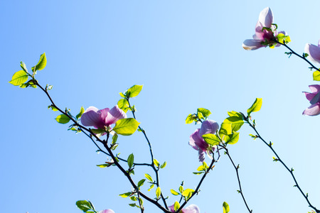 Beautiful tenderly pink flowering branches of magnolia on blue sky background.