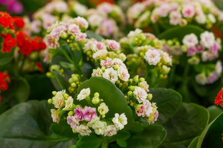 tenderly: tenderly pink flowers of Kalanchoe
