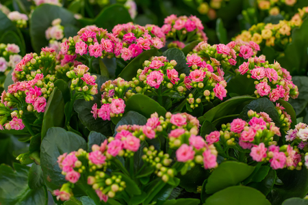 tenderly: beautiful tenderly pink flowers of Kalanchoe