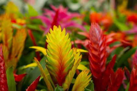 tillandsia: bright blooming Tillandsia in the greenhouse