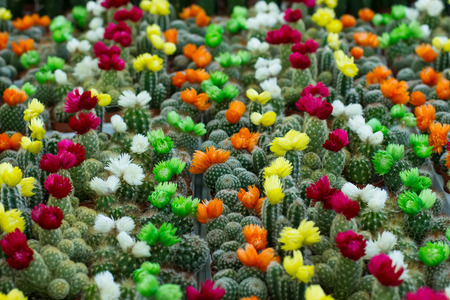 colorful flowering cacti in a greenhouse