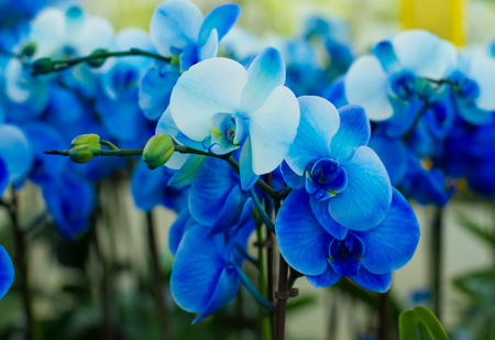 bouquet of beautiful blue orchids