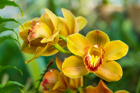 Bouquet of yellow cymbidium orchids in a tropical garden.
