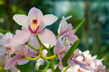 Gentle pink blooming orchids  in the wild nature.