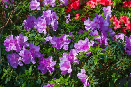 Enorme cespuglio di azalea in fiore nel giardino fiorito. Archivio Fotografico - 72951544