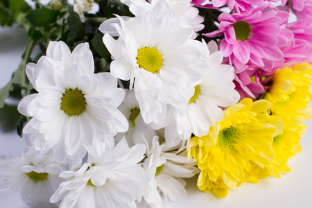 georgina: Delicate bouquet of bright chrysanthemums. Beautiful flower.