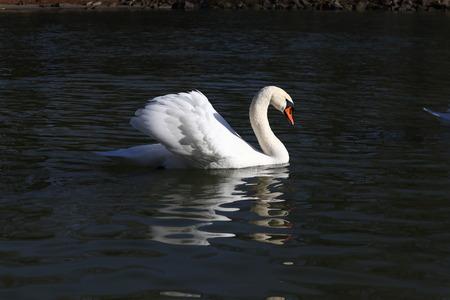 swimming proud swan