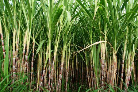 planetarnych: pola trzciny cukrowej, kultury i tropikalnych planetarnych grę na biocarburant,