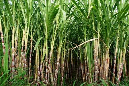 a cane: sugar cane fields, culture tropical and planetary stake on biocarburant,