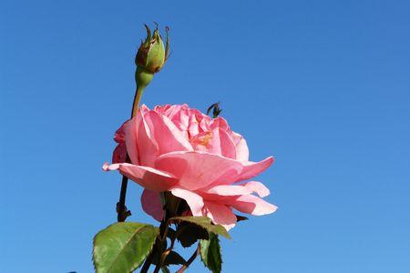 flowered: flowered rose, flower of the rose tree has petal pink on bottom blue sky