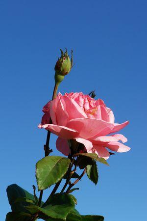 flowered: flowered rose, flower of the rose tree has petal pink,