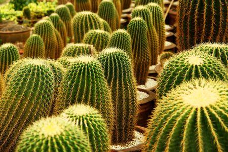 omen: cactus